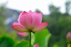 Heilige lotusbloembloem Royalty-vrije Stock Foto's