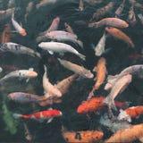 Heilige vissen Royalty-vrije Stock Fotografie