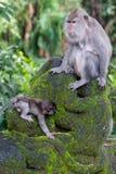 Heiliger Affe-Wald Stockfotos