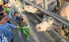 Heiliger Büffel von Surakarta-Palast Stockfotos