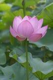 Heiliger Lotos-Blume Stockfotografie
