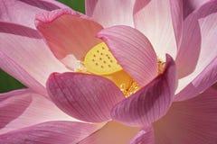 Heiliger Lotos-Blume Lizenzfreies Stockfoto