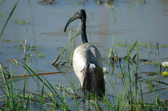 Heiliges IBIS Stockfoto