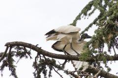 Heiliges IBIS-Vogel auf Baum Lizenzfreie Stockfotos