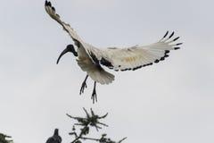 Heiliges IBIS-Vogel auf Baum Lizenzfreies Stockfoto