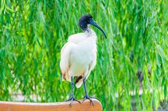 Heiliges IBIS-Vogel, der auf der Bank sitzt Lizenzfreie Stockfotos