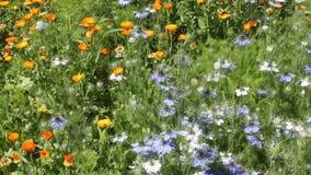 Heilpflanze Calendula und nigella im Land stock video