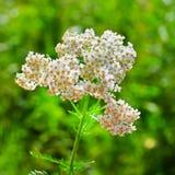 Heilpflanze-Schafgarbe (Achillea-millefolium) Lizenzfreies Stockbild