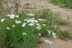 Heilpflanze-sibirische Schafgarbe - Achillea-millefolium Stockfoto
