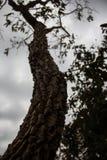 Heilpflanze vom brasilianischen cerrado, diese ist das barbatimão lizenzfreies stockfoto