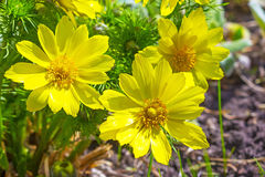 Heilpflanze von Sibirier-Adonis-Frühling (Adonis-vernalis) Lizenzfreie Stockbilder