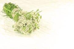 Heilpflanze weißes millefolium der Schafgarbe oder Achillea Heilpflanzeschafgarbe auf weißem Hintergrund Stockbild