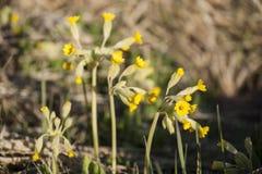 Heilpflanzen im frühen Frühling färben Schlüsselblumen Primel veris gelb Lizenzfreie Stockfotos