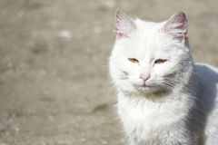 Heimatlose weiße Katze Lizenzfreie Stockfotografie