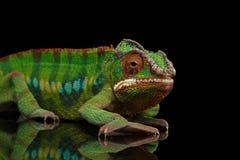 Heimelijk nemend Panterkameleon, reptiel met kleurrijk die lichaam op Zwarte wordt geïsoleerd stock afbeeldingen