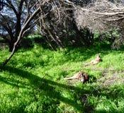 Heirisson Island Kangaroos Stock Photo