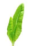 Heirloom Lettuce Royalty Free Stock Photo