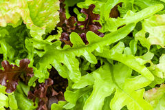 Heirloom lettuce Stock Photo