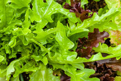 Heirloom lettuce. Closeup image of fresh leaves of heirloom letuce royalty free stock photos
