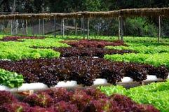 Heirloom Lettuce Stock Photo