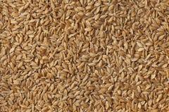 Heirloom organic Einkorn wheat seeds Royalty Free Stock Photo