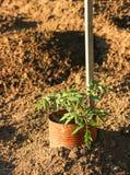 Heirloom pomidor Obrazy Royalty Free