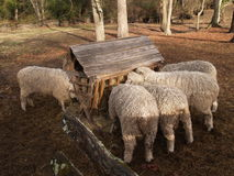 Heirloom sheep. Historic breed of woolly sheep having their morning meal from a wooden feeder in a fenced pasture, Williamsburg, Virginia stock images