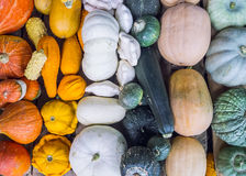 Heirloom squash on display 17 Stock Photos