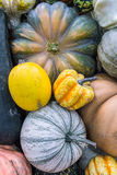 Heirloom squash on display 11 Stock Image
