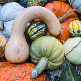 Heirloom squash on display 10 Stock Image
