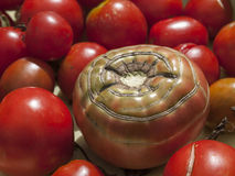 Heirloom Tomato. A farmers market organic tomato with unusual natural striping Stock Image