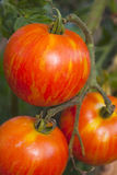 Heirloom Tomato growing on the vine Royalty Free Stock Photo