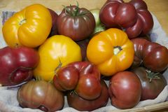 HEIRLOOM TOMATO HARVEST. Freshly picked, garden tomatoes in a colorful variety Stock Images