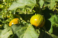 Heirloom tomato plant Stock Image