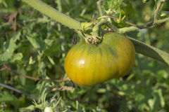 Heirloom Tomato On The Vine With Water Droplets Stock Image
