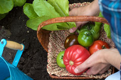 Heirloom Tomatoes in a Basket. Gardener placing variety of heirloom tomatoes in a basket royalty free stock photography