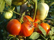 Heirloom tomatoes in the garden. Ripe and green heirloom tomatoes on vine Royalty Free Stock Image