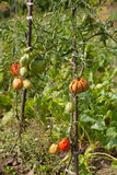 Heirloom tomatoes. Organic heirloom tomatoes on a bush. Shallow dof Stock Images