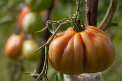 Heirloom tomatoes. Organic heirloom tomatoes on a bush. Shallow dof royalty free stock image