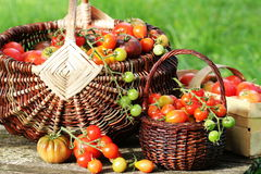 Heirloom variety tomatoes in baskets on rustic table. Colorful tomato - red,yellow , orange. Harvest vegetable cooking Stock Images