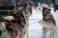 Heisere Hunde Stockfotografie