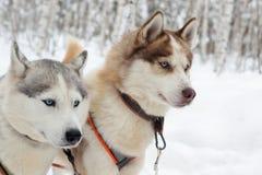 Heisere Hunde auf Winterlandschaft Stockfotografie