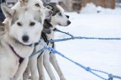 Heisere Hunde in Lappland Lizenzfreies Stockbild