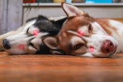 Heisere Hunde mit rotem Lippenstiftkennzeichenkuß auf seinen Köpfen Sibirischer Husky, der auf dem Boden im Glück liegt Konzept d stockbilder