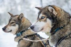Heisere Hundenahaufnahme, Lappland Finnland Stockbilder