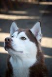 Heisere Hundeungewöhnliche braune Farbauffallende Augen Alaskas Stockfoto