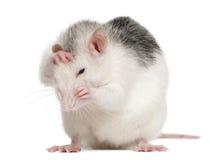 Heisere Ratte, 12 Monate alte Stockfotografie