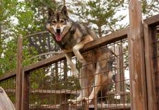 Heiserer Bauernhof Hund, der auf dem Zaun sitzt stockfotos