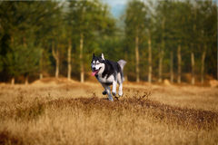 Heiserer Hund Stockfotografie