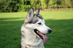 Heiserer Hund Lizenzfreies Stockfoto